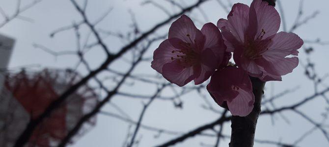 カワヅザクラ…?開花。